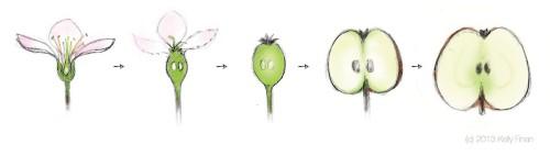 apple-growth-1200