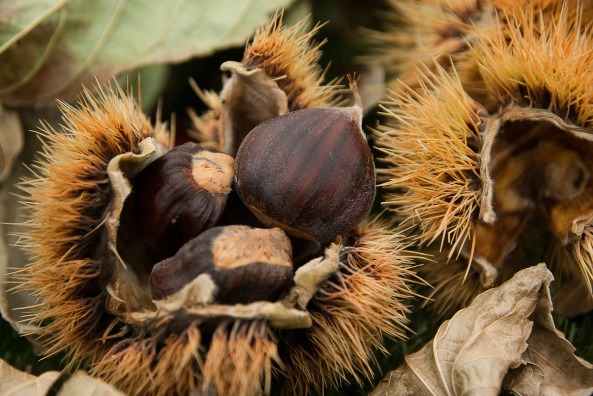 chestnuts-1761228_1280